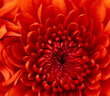 Event grid chrysanthemum